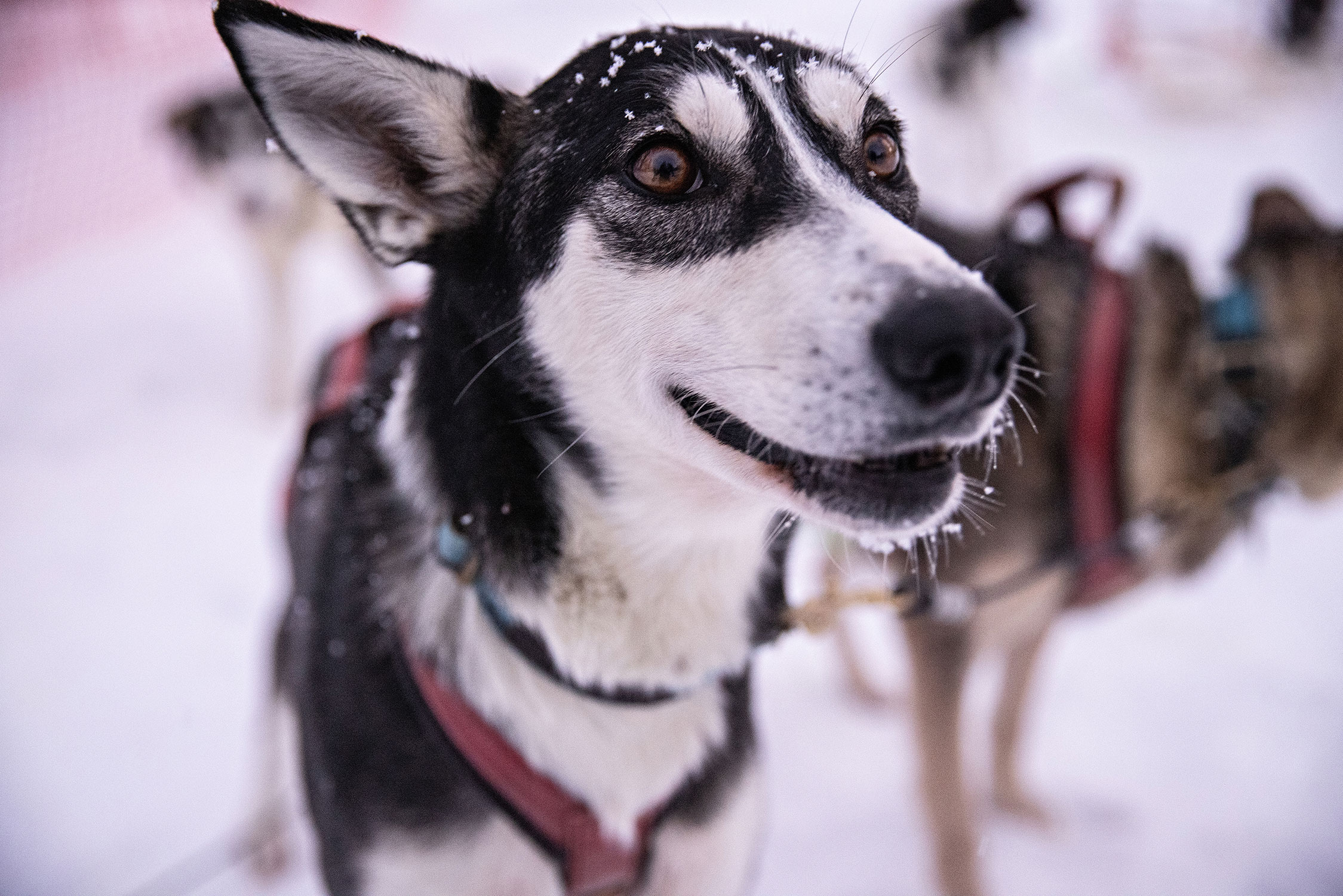 Say ''hello'' to reindeers and huskies in the local farms.