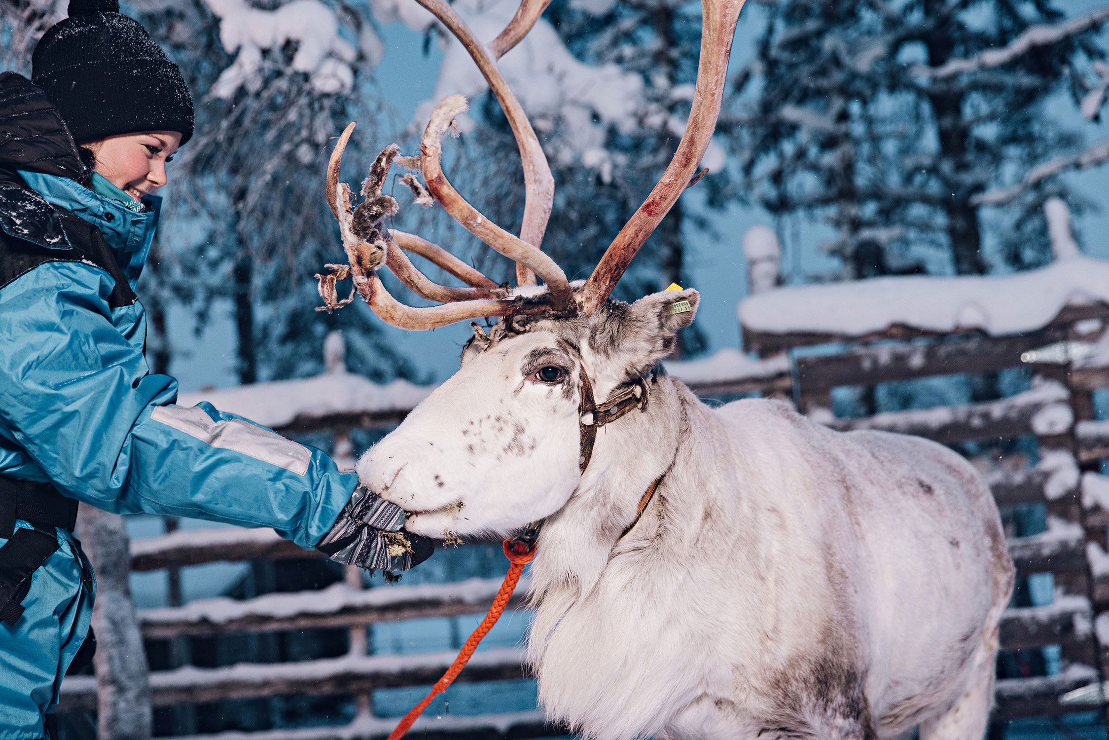 Reindeers can be seen throughout the year in nature surrounding the lodge.